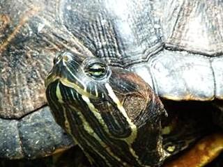 睡觉梦见乌龟伸头暗示什么